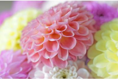 The best tips for enjoying your dahlias