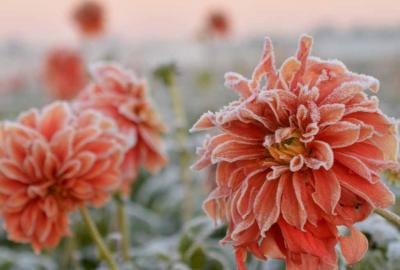 How to store Dahlia tubers through the winter?
