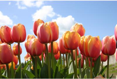 How do I plant tulip bulbs and daffodil bulbs?