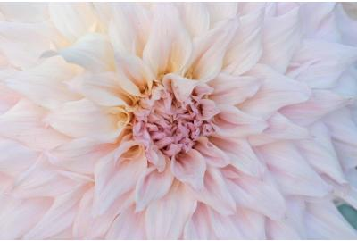 The most beautiful dinnerplate dahlias