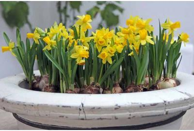 Can I plant bulbs in pots?