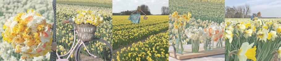 Daffodil fields