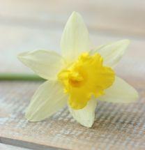 Daffodil Topolino