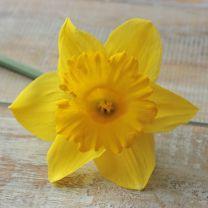 Daffodils Ballade by FAM Flower Farm  Garden bulbs from Holland