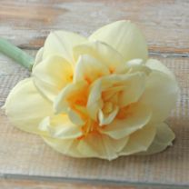 Daffodil Manly