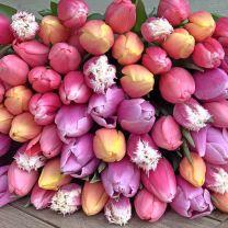 Tulip Mix - 100 bulbs