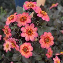 Dahlia Dahlegria Tricolore