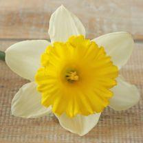 Daffodil Stadium