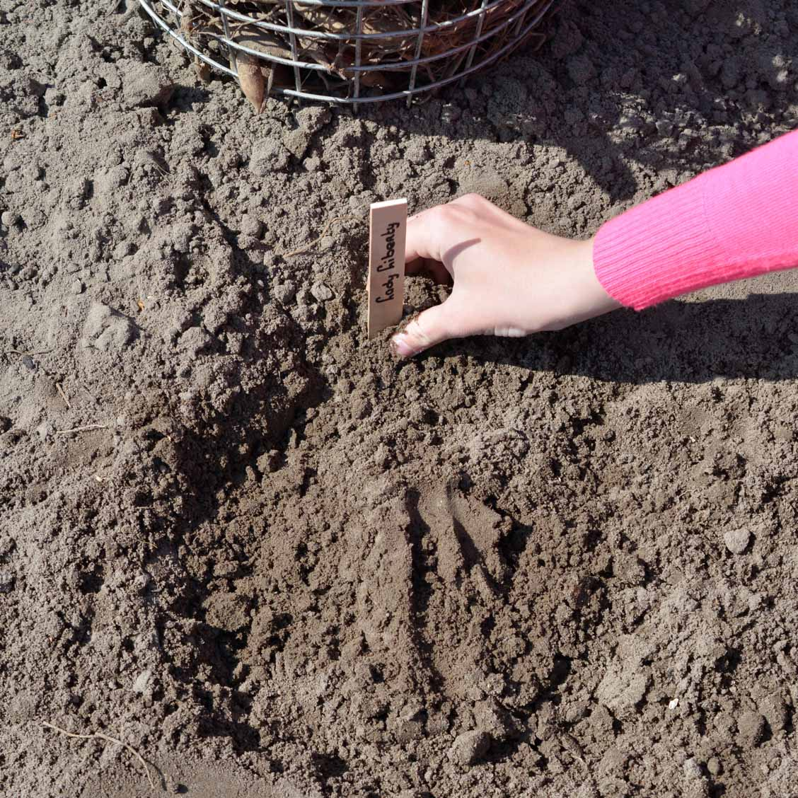 Blog How Do I Plant Dahlias