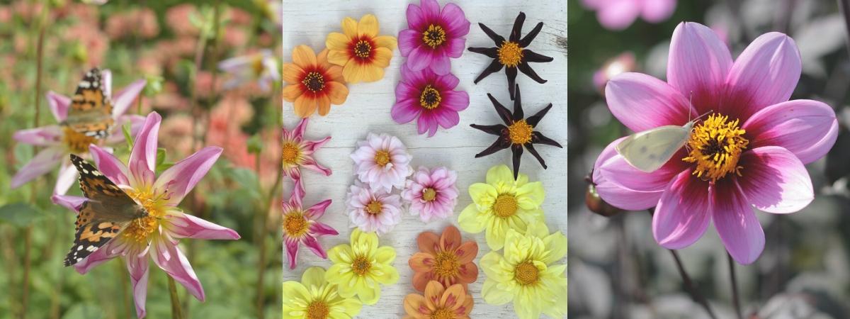 dahlias die vlinders en bijen lokkers